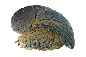 scaly foot gastropod, Crysomallon squamiferum (3)