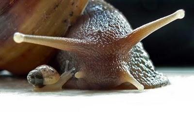 giant african snail, Achatina achatina