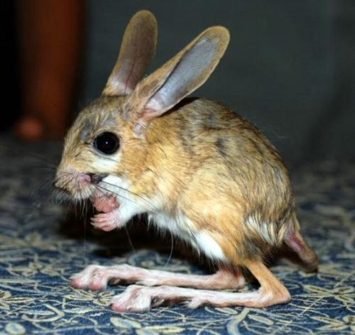 endangered species spotlight long eared jerboa featured creature