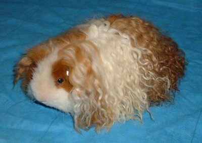 Bizarre Breeds of Guinea Pigs  Featured Creature