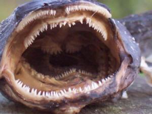 toad fish - photo #43