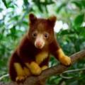 tree-kangaroo1