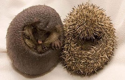 spineless hedgehogs