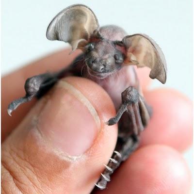 baby long eared bat