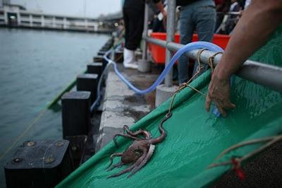 octopus released