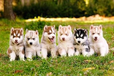 Huskies. Pet the Rainbow.