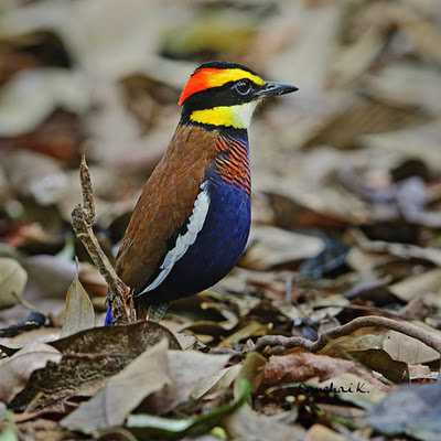 A Light In the Gloom: Banded Pitta