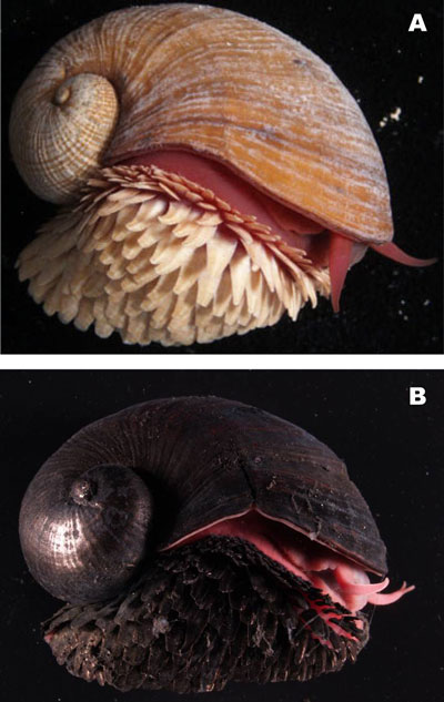 scaly foot gastropod, Crysomallon squamiferum (2)