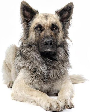 Wolf Dog Hybrid Related Keywords & Suggestions - Wolf Dog ...