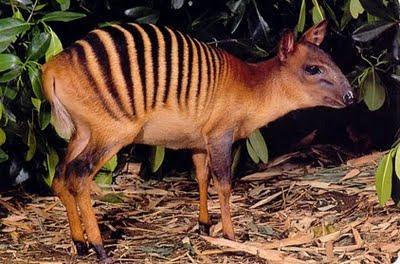 Zebra Duiker, Cephalophus zebra