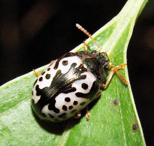 Nature's Work of Art: the Calligraphy-inspired Leaf Beetle