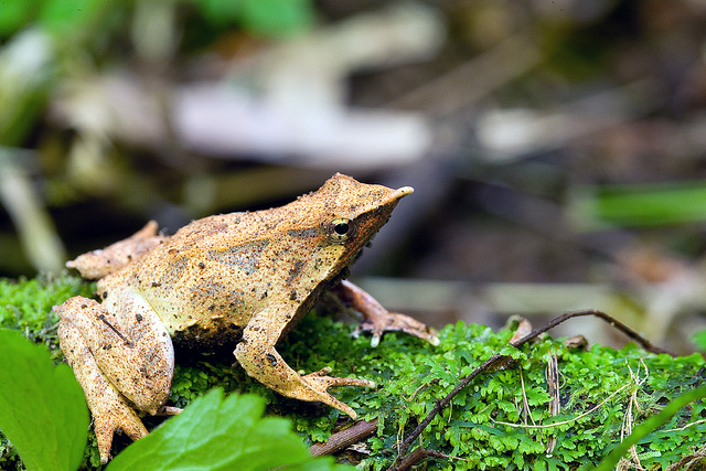 Darwins Frog, darwin's frog, (1)