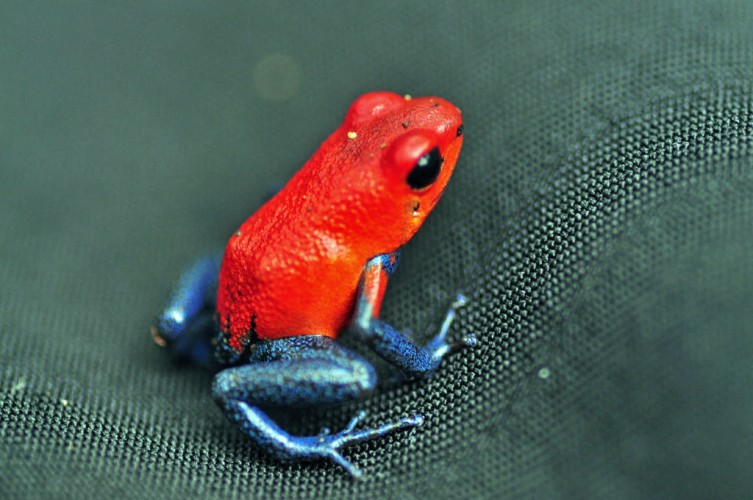 Going For the Casual/Cool Look? Here's the Blue-jeans Frog.