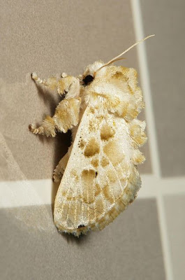cup moth, altha sp.