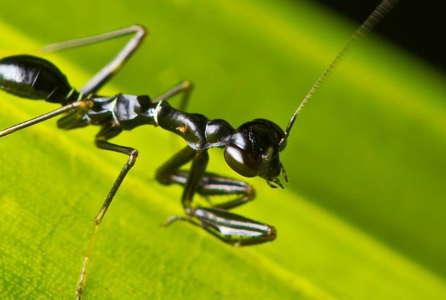 Alright Asian Ant Mantis, You Fooled Me.
