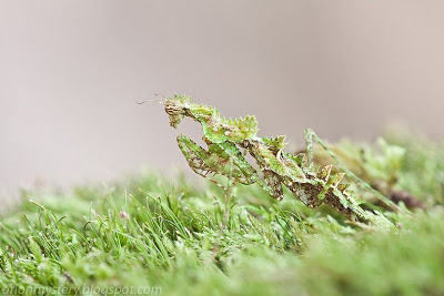 The Mysterious Moss Mantis of Malaysia