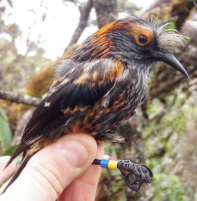Endangered Species Spotlight: the ʻĀkohekohe