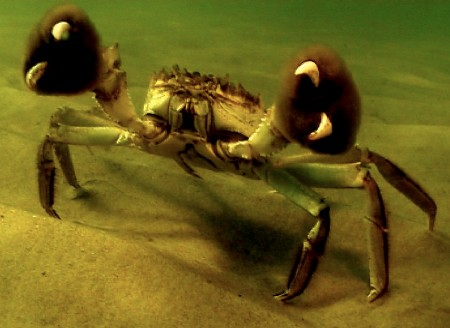 The Crab Who Wears Mittens The Chinese Mitten Crab