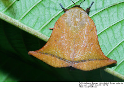 Do You Think It's Musically Inclined? The Bell-shaped Moth of Borneo