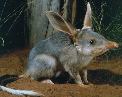 Endangered Species Spotlight: Bilby!