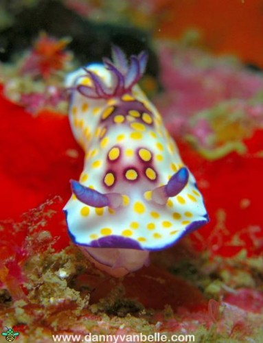New Week Nudibranch: Chromodoris hintuanensis