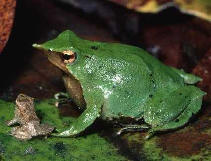 Darwins Frog, darwin's frog, (5)