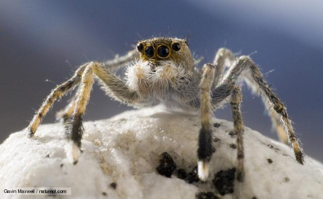 Meet the Spider that Lives On Top of the World: the Himalayan Jumping Spider