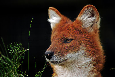 Endangered Species Spotlight: Holy Dhole!
