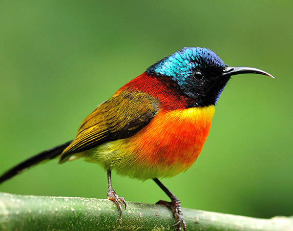 The Green-tailed Sunbird: a Living, Flying, Jewel