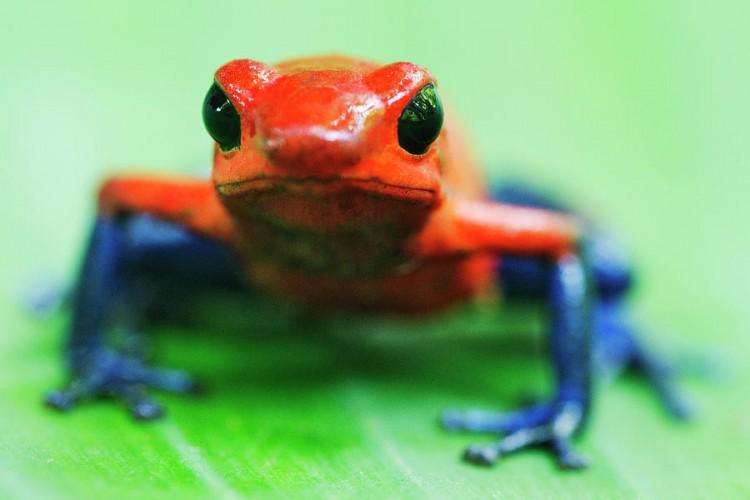 Dart and Mantella Frog Classifieds  Kingsnake