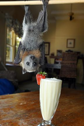 Here's Some Photos of a Fruit Bat Enjoying a Tasty Smoothie!