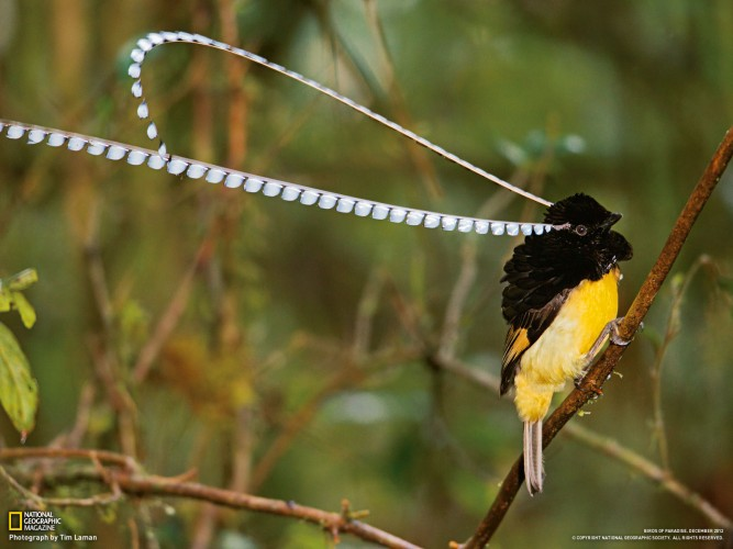 Here's The King of Saxony Bird of Paradise and It's Funkalicious 'Eyebrows'