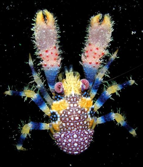 Galathe apilosa, squat lobster