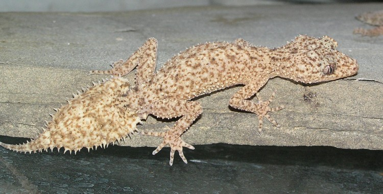 Phyllurus platurus, Southern Leaf-tailed Gecko