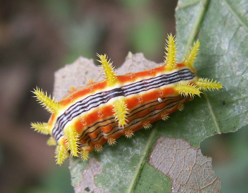 Stinging rose caterpillar, Parasa indetermina