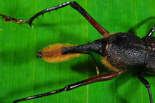 Ever Seen a Bug With a Beard Before? Meet the Bearded Weevil!