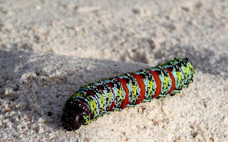 Nudaurelia cytherea, pine emperor moth caterpillar