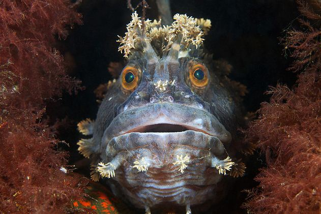The Old Man and the Sea – Fish Style: Fringed Blenny