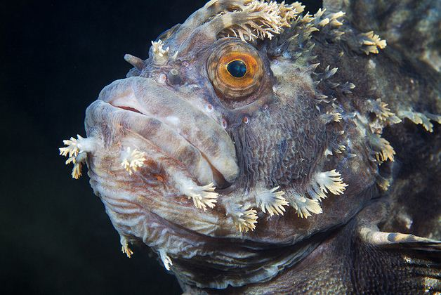 Chirolophis japonicus, fringed blenny