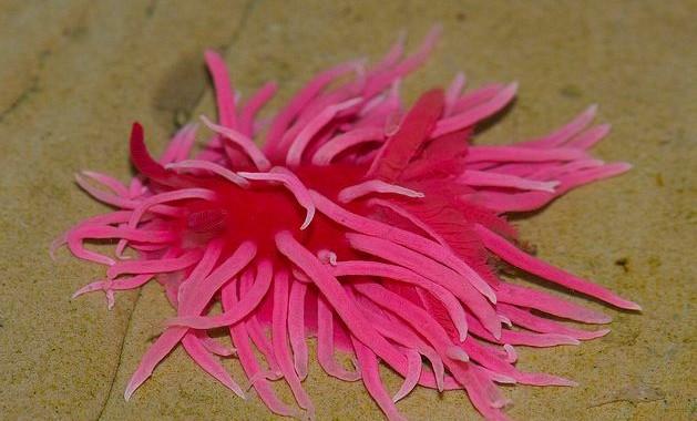Hopkin's Rose, Okenia rosacea