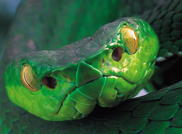 This Isn't Your Favorite Speilberg Character: the Deadly Motuo Bamboo Pitviper That Looks Shockingly Like E.T.