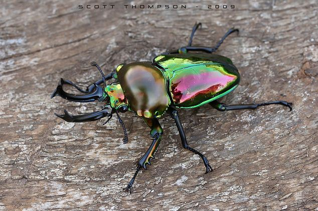 Rainbow Stag Beetle Steals the Show With Incredible Colors