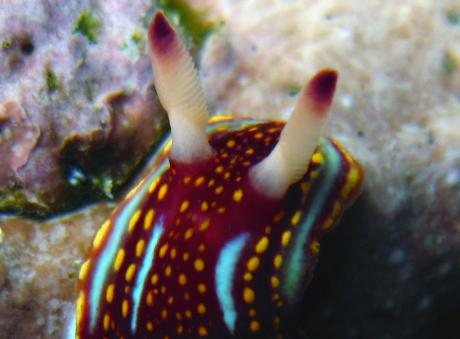 Chromodoris sphoni