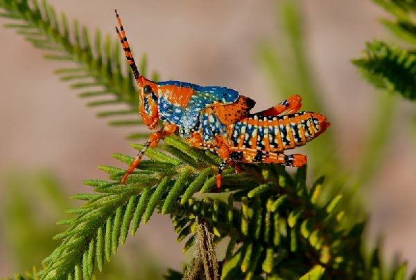 Leichhardt's Grasshopper, Petasida ephippigera