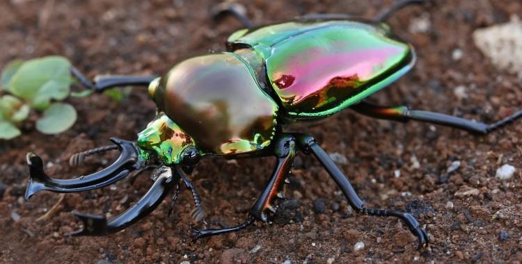 rainbow stag beetle, Phalacrognathus muelleri