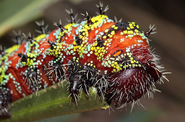 Nudaurelia cytherea, pine emperor moth caterpillar, ugly christmas sweater caterpillar