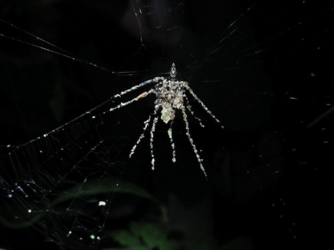 Charlotte's Web In Real Life: New Species of Spider Builds Decoy to Distract Predators