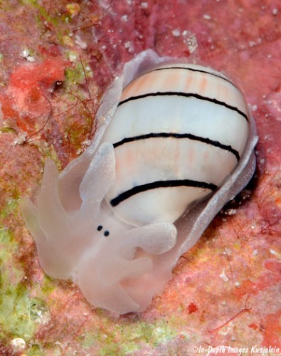 New Week Nudibranch: Hydatina amplustre – What a Face!!
