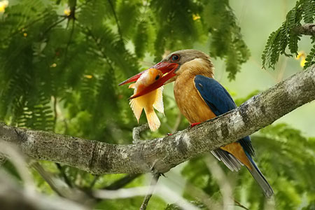 Stork-billed Kingfisher, Pelargopsis capensis, Halcyon capensis (3)