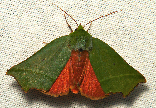 Merry Christmas (Eve) From a Very Festive Christmas Moth!